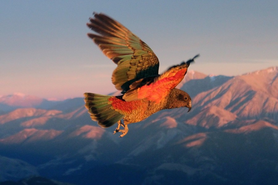 A kea flies at sunset. The Southern Alps, covered in snow, are its backdrop.
